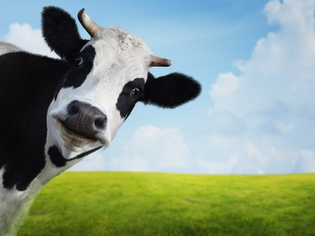 funny-cow1